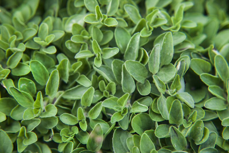 Spanish Oregano Leaves