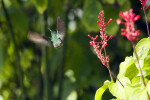 Sparking Mango Hummingbird (Flying)