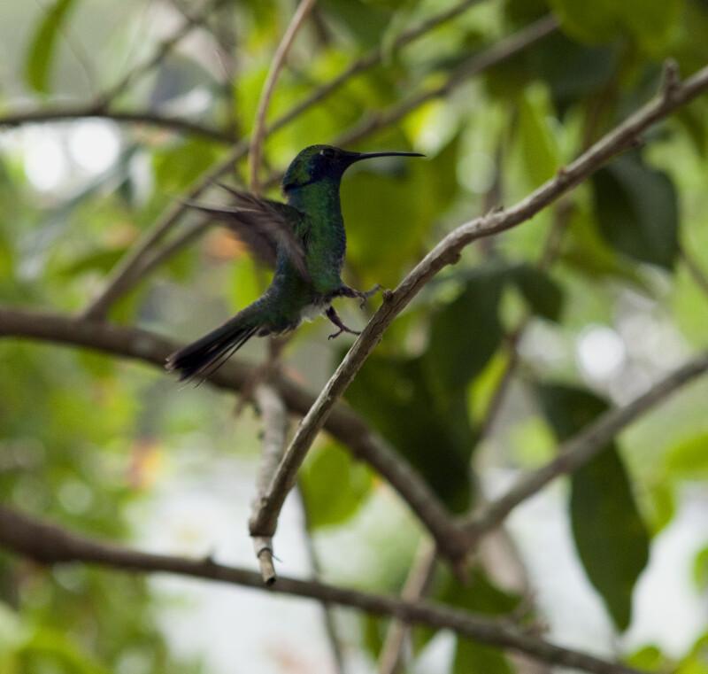 Sparkling Mango Hummingbird Landing