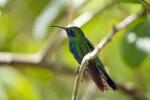Sparkling Mango Hummingbird Resting