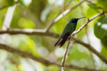 Sparkling Mango Hummingbird Sitting