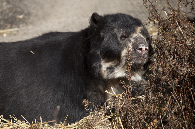 Spectacled Bear and Grass
