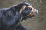 Spectacled Bear at the Artis Royal Zoo