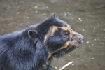 Spectacled Bear Head