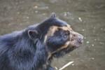 Spectacled Bear Head