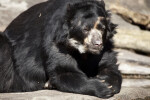 Spectacled Bear Laying Down