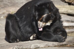 Spectacled Bear Licking