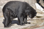 Spectacled Bear Looking at Paws