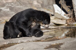 Spectacled Bear Looking in to Water