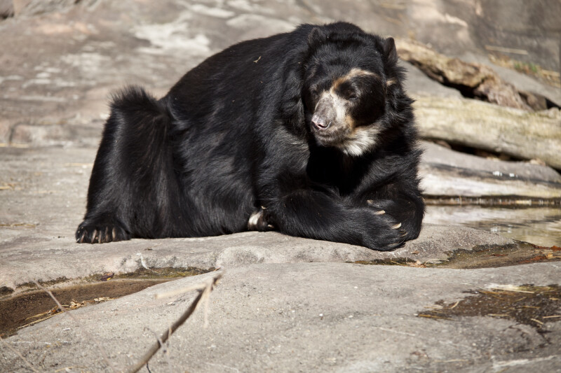 Spectacled Bear Relaxing