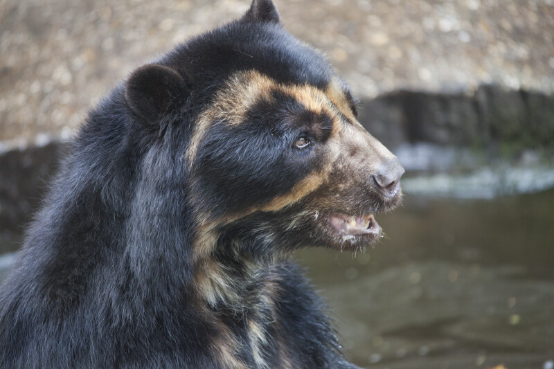 Spectacled Bear with Piece of Food in its Mouth