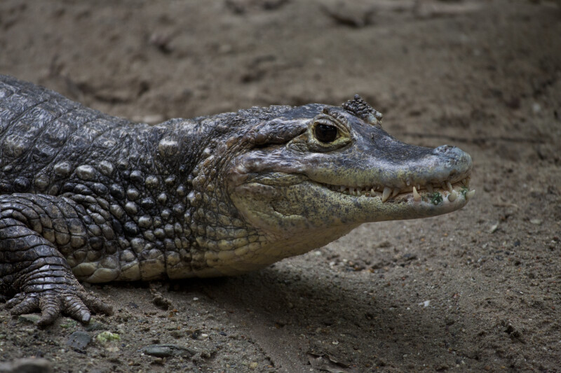 Spectacled Caiman Close-Up