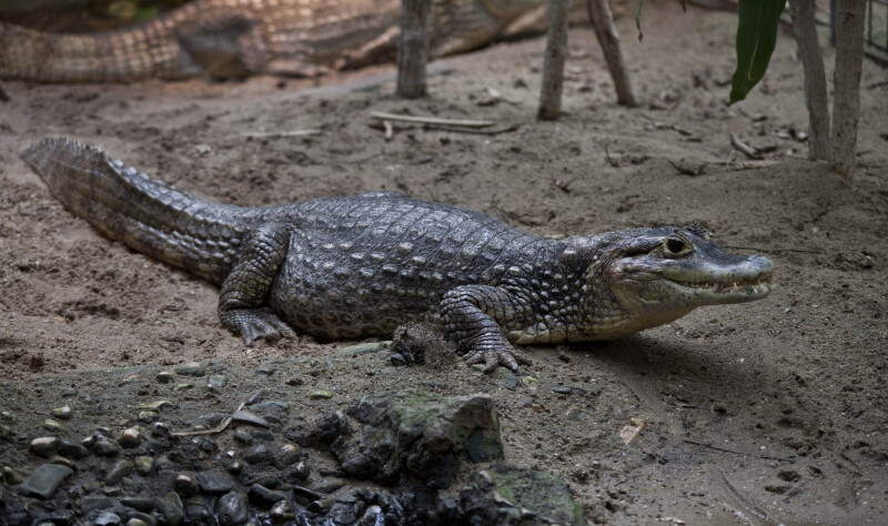 Spectacled Caiman Laying on the Ground
