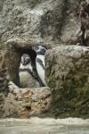 Spheniscus Penguins Standing in Rocks