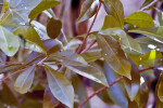 Spicewood (Calyptranthes spp.) Leaf Detail