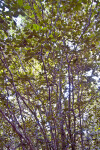 Spicewood (Calyptranthes spp.) Multi-Trunks