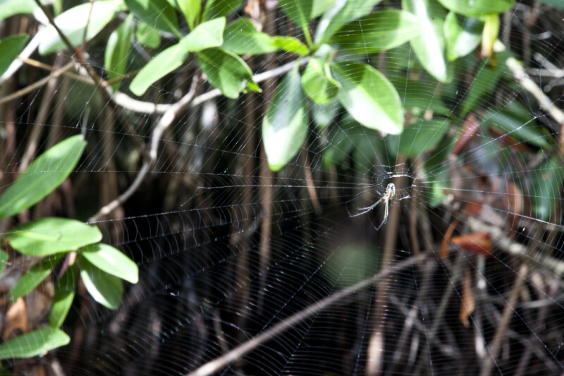 Spider that has Weaved a Web in a Mangrove Tree