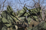 Spineless Prickly Pear Cactus Leaves