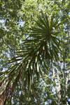 Spineless Yucca Branch