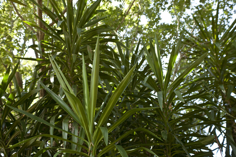 Spineless Yucca Leaves
