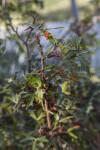 Spiny, Evergreen Agarita Leaves