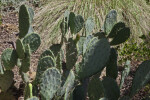 Spiny Leaves of a Prickly Pear Cactus