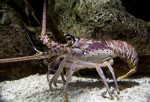 Spiny Lobster at The Florida Aquarium