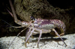 Spiny Lobster Side View