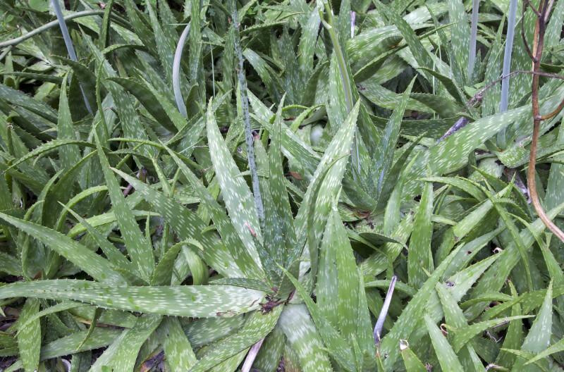 Spiny, Long, Green Soap Aloe Leaves