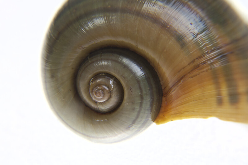 Spiraling Florida Apple Snail Shell