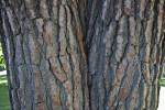 Split Trunk of a Chir Pine