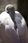 Spoonbill at Rest