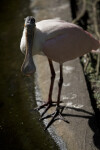 Spoonbill by Pond