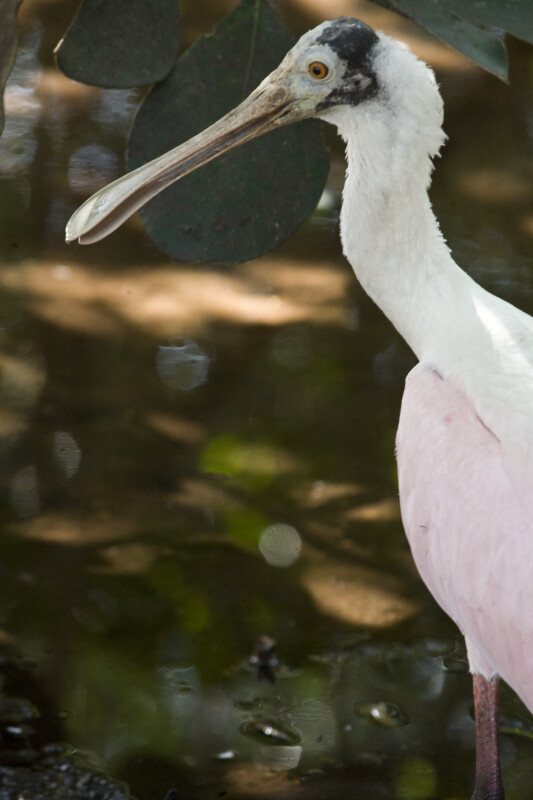 Spoonbill by the Shore