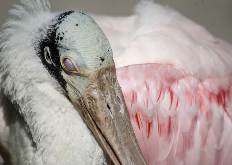 Spoonbill Closeup