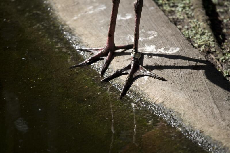 Spoonbill Feet