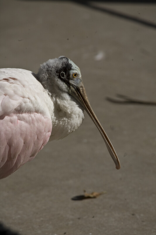 Spoonbill from the Side