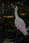 Spoonbill in the Shade