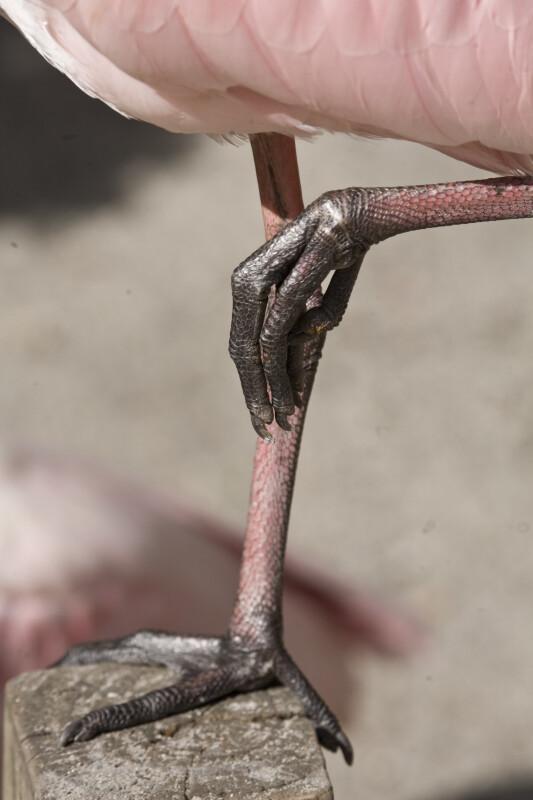 Spoonbill Legs