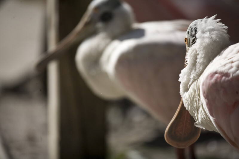 Spoonbill Looking Behind