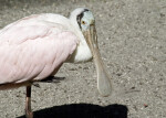 Spoonbill on One Leg