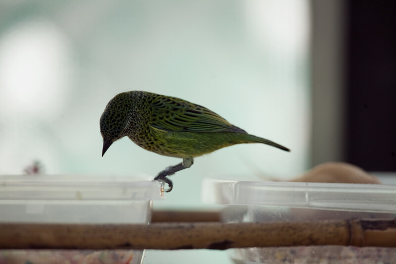 Spotted Tanager at Feeding Tray