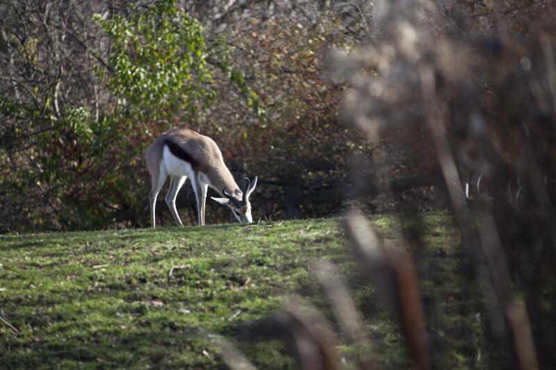 Springbok Grazing