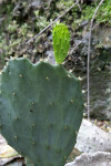 Sprouting Prickly Pear Cactus Paddle