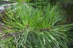 Spruce Pine Leaves