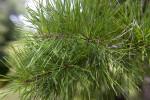 Spruce Pine Needles