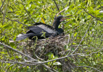 Squawking Anhinga at Shark Valley of Everglades National Park