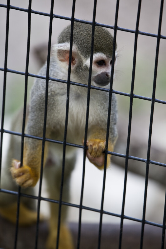 Squirrel Monkey and Bars