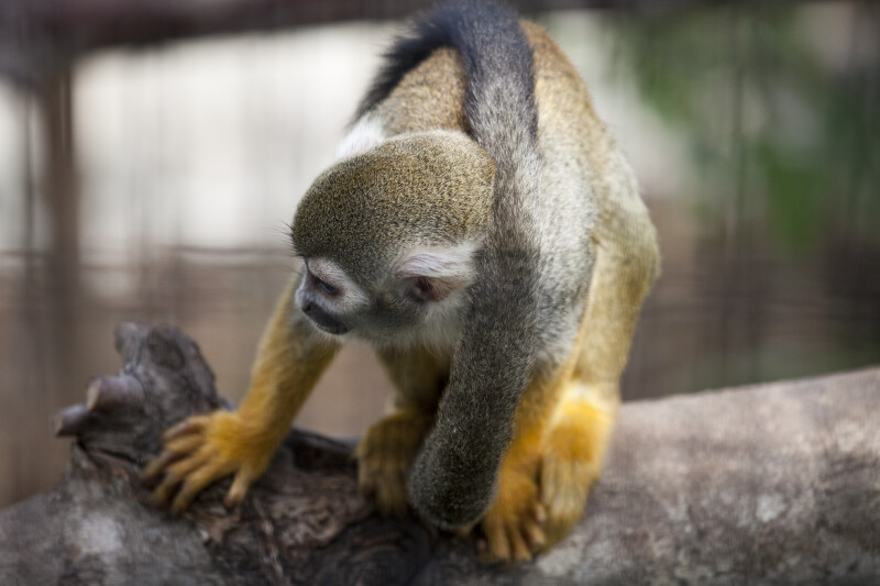 Squirrel Monkey and Tail