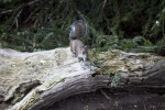 Squirrel on a Log